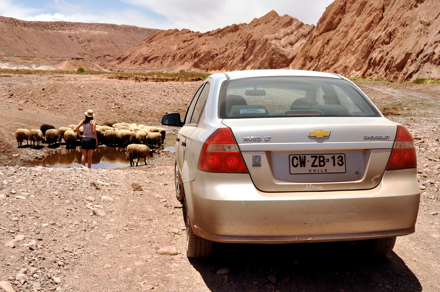 ovelhas no trânsito de Atacama