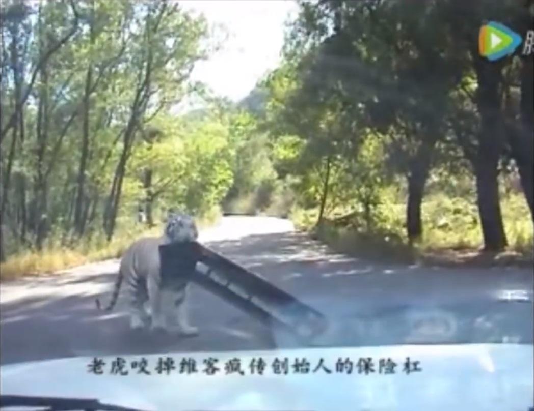 Tigre arranca para-choque de Jetta